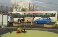 Orasul zoo. Baltata indragostita de traficul din Podul Ros si de panselutele din gavanoasele Primariei (Galerie foto)