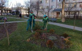 Primaria a plantat, astazi, 700 de brazi in parcurile si zonele de agrement din Iasi