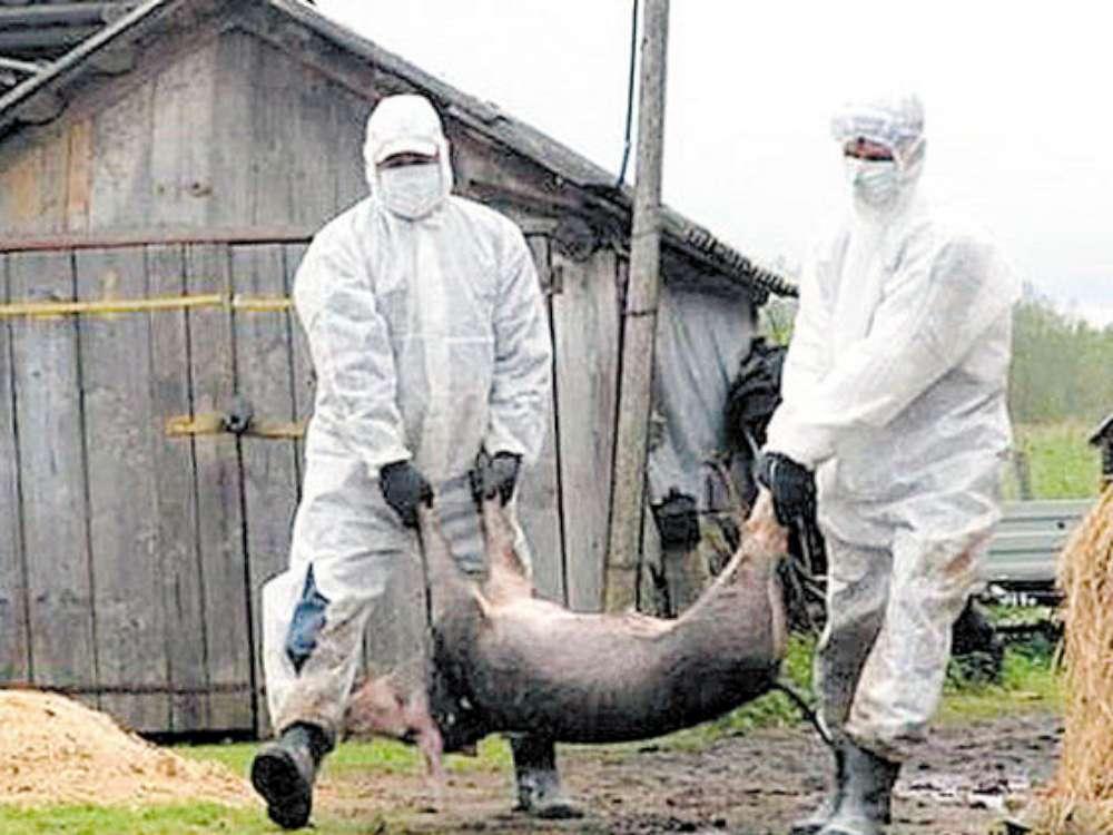 Un nou focar de pesta porcina la Iasi. Virusul, confirmat in comuna Probota