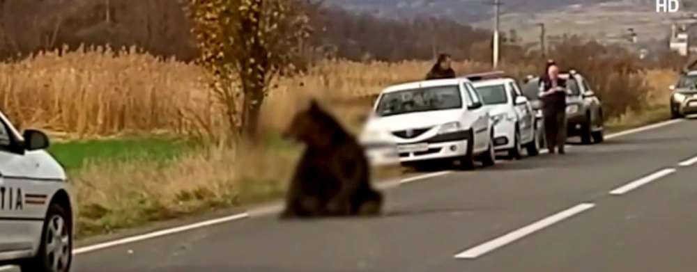 Președintele Consiliului Județean și al PSD Iași: Uciderea puiului de urs, încă o dovadă a incompetenței liberalului Costel Alexe