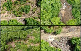 Imaginile dezastrului! Drujbarii lui Alexe continua taierea padurii Barnova. Unde sunt activistii de mediu care au jurat sa o protejeze?
