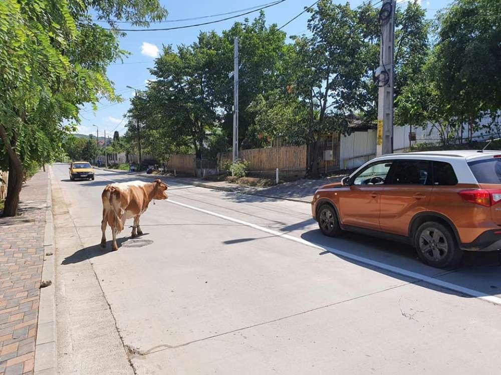 Telenovela vacii care terorizeaza locuitorii din Bucium. Dilema in orasul culturii: sa vina Politia, sa fie mulsa sau abatorizata?