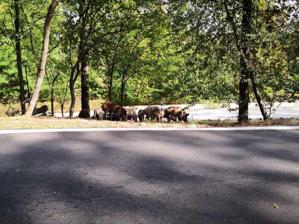 """Chirica si-a pus din nou Iasul in cap! O turma de porci mistreti se plimba pe malurile Ciricului. Chirica – """"este un mediu prielnic, netoxic"""""""